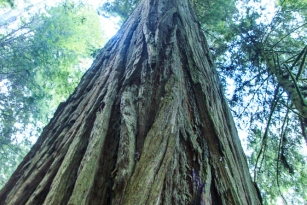 1210 _Redwoods-ca coast _1663