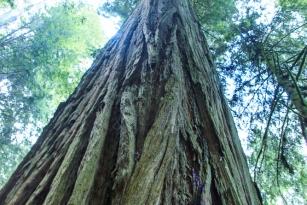 1210 _Redwoods-ca coast _1663