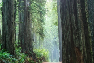 1210 _Redwoods-ca coast _1664